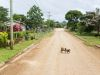 Tonga, Longomapu (2014): Pigs life a free live in Tonga; Photo: Thomas Alboth