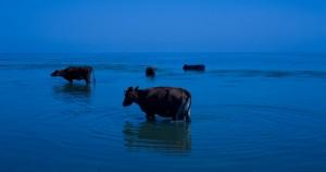 Cows in the Dniestr Liman (Ukraina)