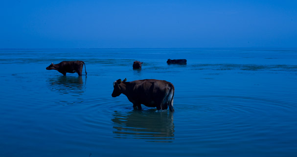 Cows in the Dniestr Liman (Ukraina)
