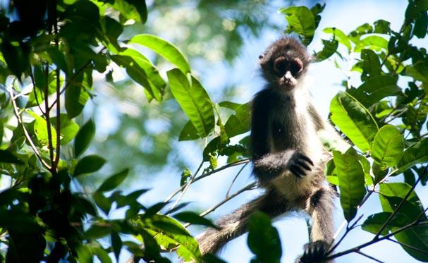 Mexico (Yucatan): A Spider Monkey in Punta Laguna