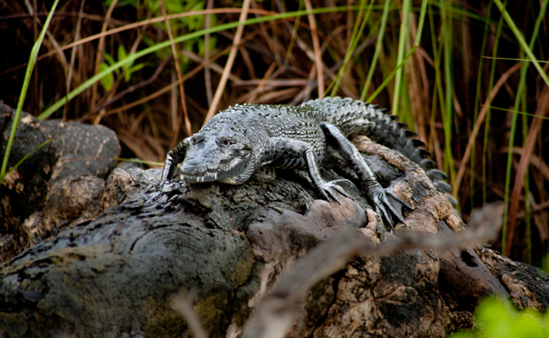 Belize: We met an Alligator on the way to Lamanai Maya ruins