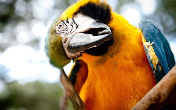 A Parrot (Blue-and-yellow Macaw) in Copan Ruinas (Honduras), Macaw Mountain Bird Park & Nature Reserve