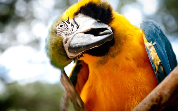 A Parrot in Copan Ruinas (Honduras)