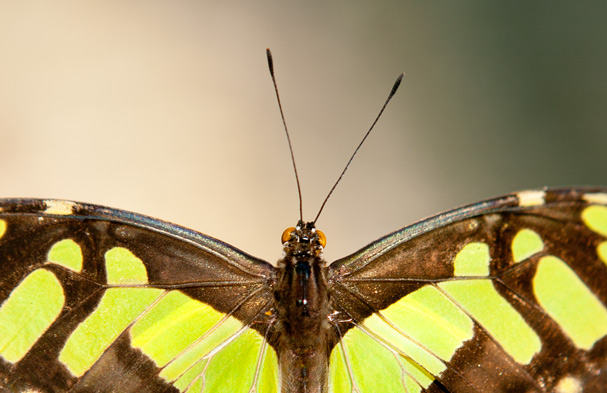 Honduras (Copan Ruinas): Butterfly : Head of a Siproeta stelenes, Malachite