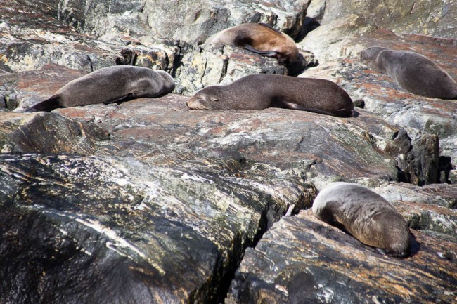MIlford Sound (New Zealand): Seals in the sunshine