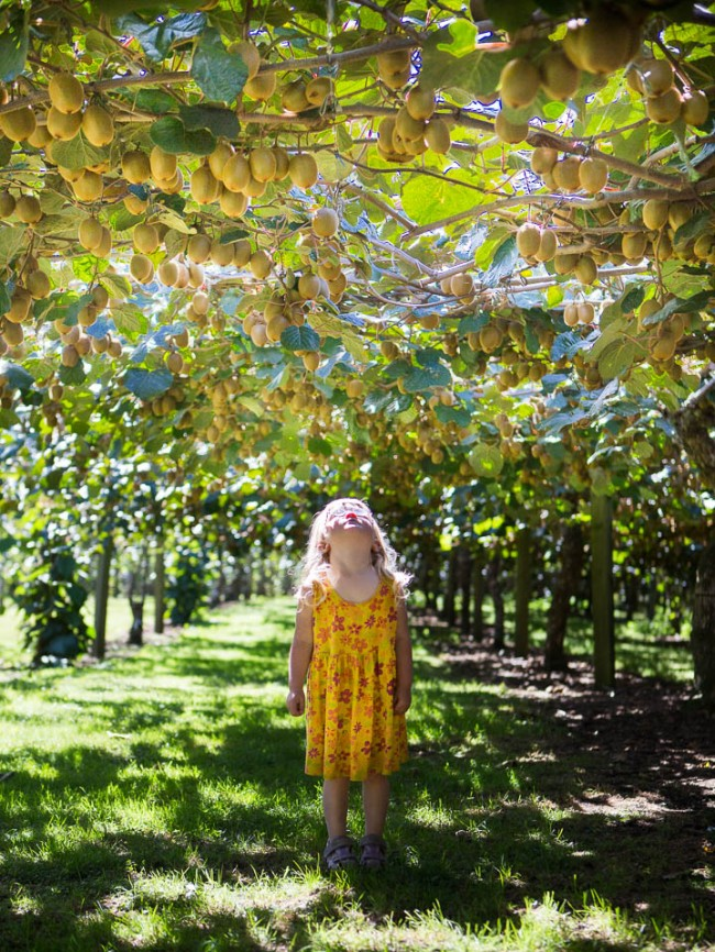 Mila in a Kiwifruit Orchade near Meketu (New Zealand)