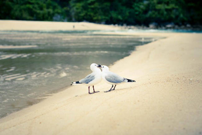 Abel Tasman National Park (New Zealand) seagulls in love; Photo: Anna Alboth
