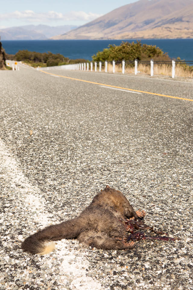 New Zealand: A dead possum on the road; Photo: Thomas Alboth