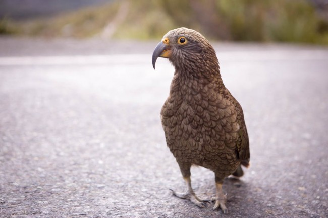 A Kea parrot in the Milford Sound (New Zealand); Photo: Thomas Alboth