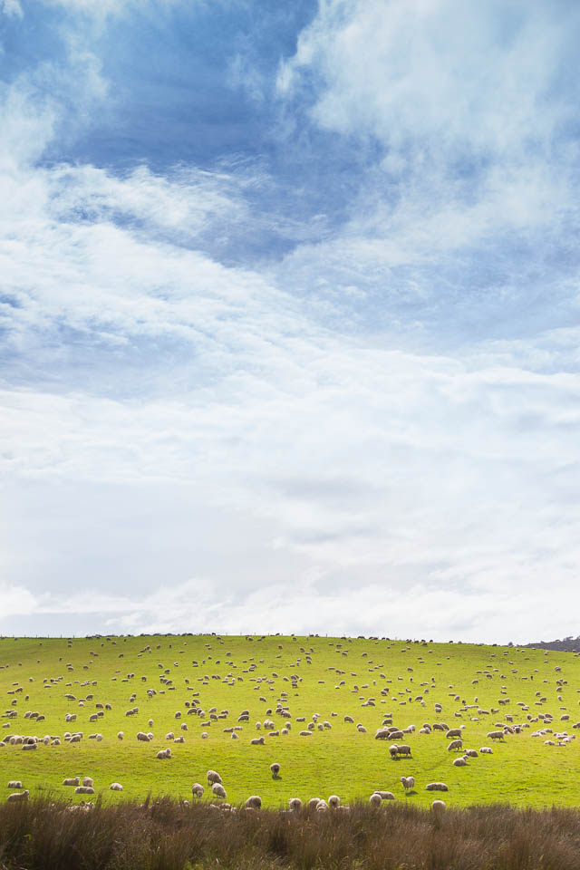 New Zealand landscape: Blue sky, amazing green, hundreds of shee