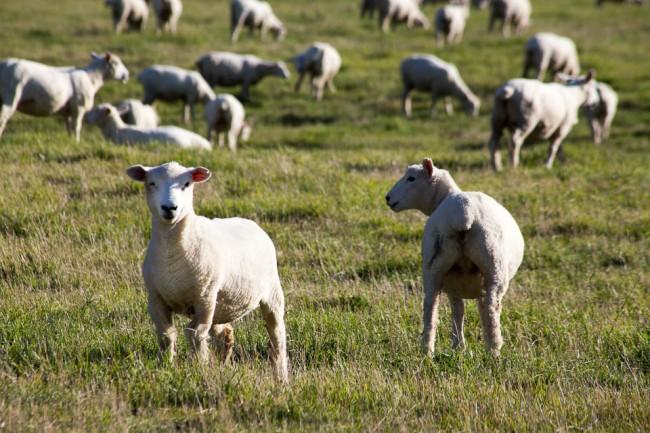 New Zealand: Sheep everywhere