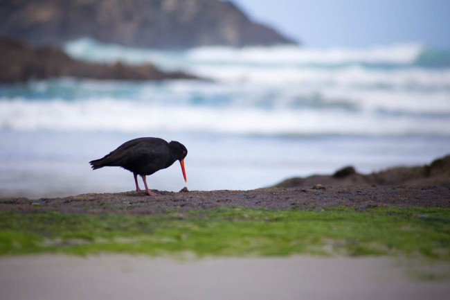 An oystercatcher bird - wildlife of New Zealand