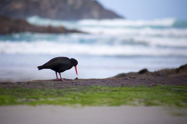 An oystercatcher bird - wildlife of New Zealand