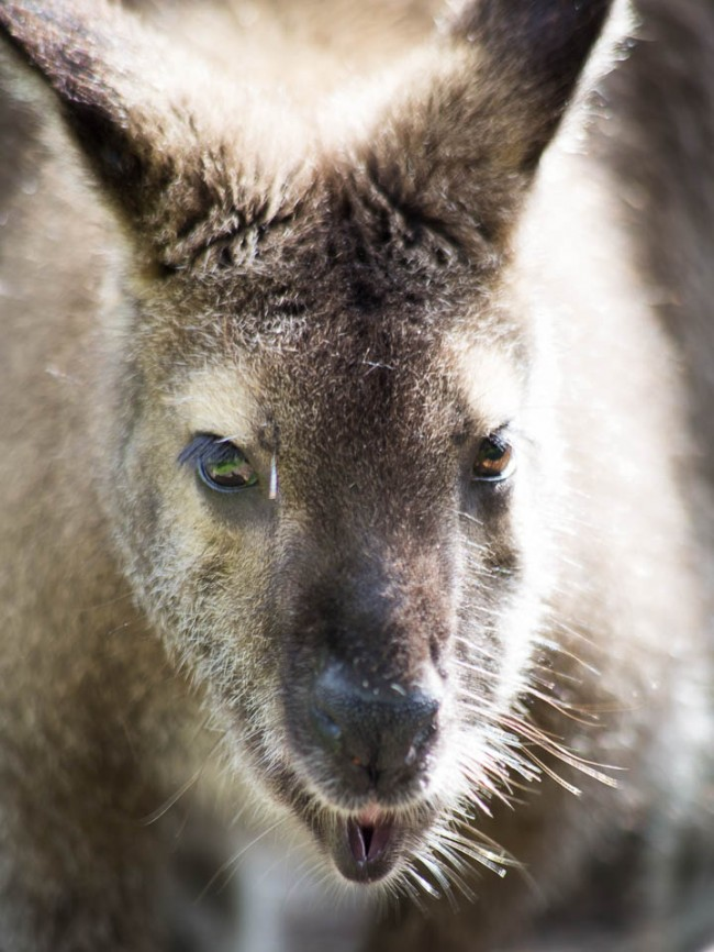 New Zealand wildlife: wallaby (Kangaruh)