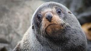 Seelöwen an der Küstre Neuseelands