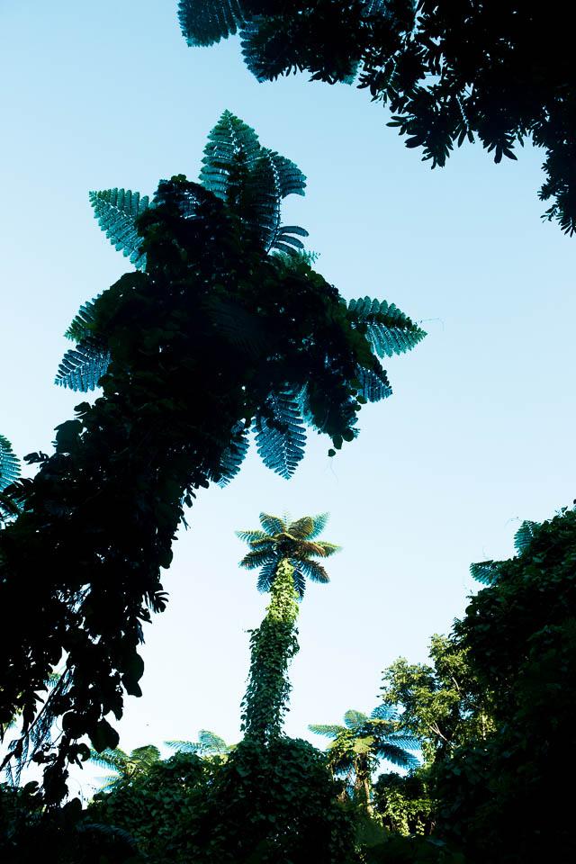 Eua (Tonga): Farn trees; Photo: Thomas Alboth
