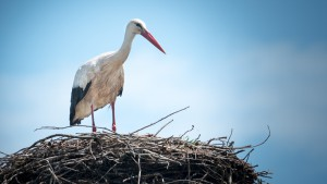 Portugal Travel: Alentejo and Vicentine Coast Natural Park, Attraktions, Storks, Animals, Ciconia ciconia